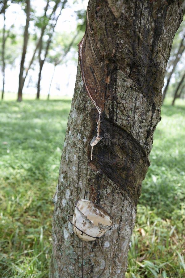 Rubberboom royalty-vrije stock afbeeldingen