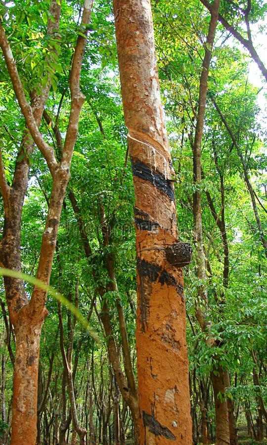 Rubberboom - Hevea Brasiliensis - Inzameling van Latex - Rubber die in Kerala, India onttrekken stock foto's