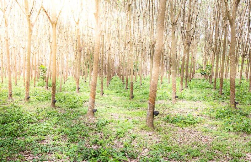 Rubberboom met zonlichteffect stock foto's