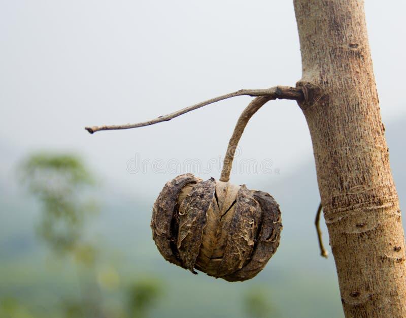 Rubberboomzaad stock afbeeldingen