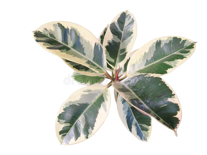 Rubberplant royalty-vrije stock fotografie