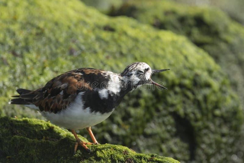 Rubbyturnstone die vogel het roepen waden stock afbeeldingen