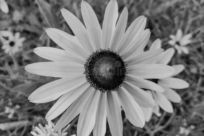 Rubeckia hirta Black Eyed Susan w ogrodzie zdjęcie stock