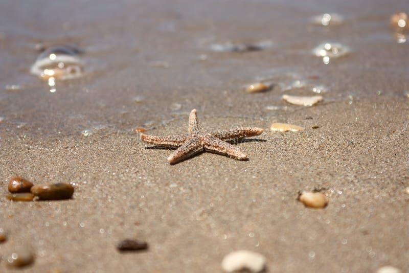 Rubens d'Asterias d'espèces d'étoiles de mer avec le bardeau, plan rapproché de vue sur un sable de mer côtier après la marée image libre de droits