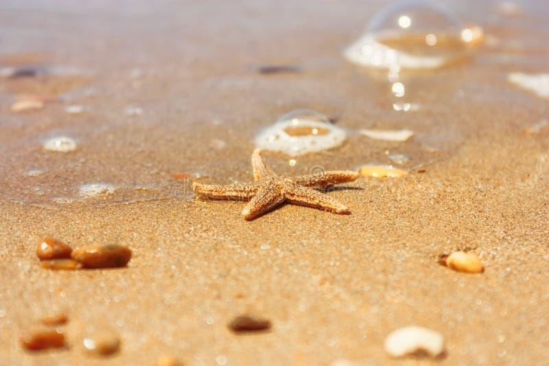 Rubens d'Asterias d'espèces d'étoiles de mer avec le bardeau, plan rapproché de vue sur un sable de mer côtier après la marée Le  image stock