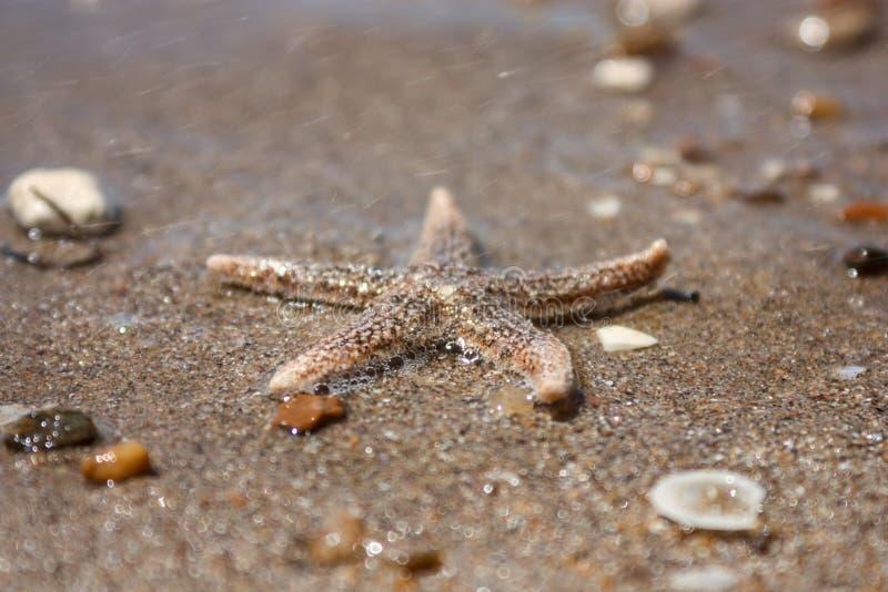 Rubens d'Asterias d'espèces d'étoiles de mer avec le bardeau, plan rapproché de vue sur un sable de mer côtier après la marée Le  photo libre de droits