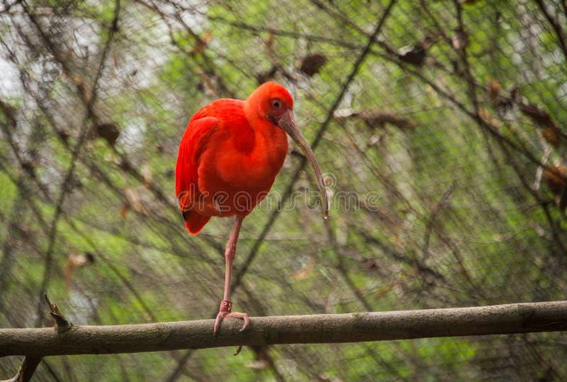 Ruber di Eudocimus/color scarlatto dell'ibis immagini stock libere da diritti