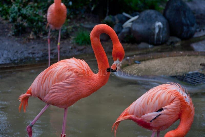 Ruber vermelho brilhante de Phoenicopterus de um par pássaros do flamingo no amor fotos de stock