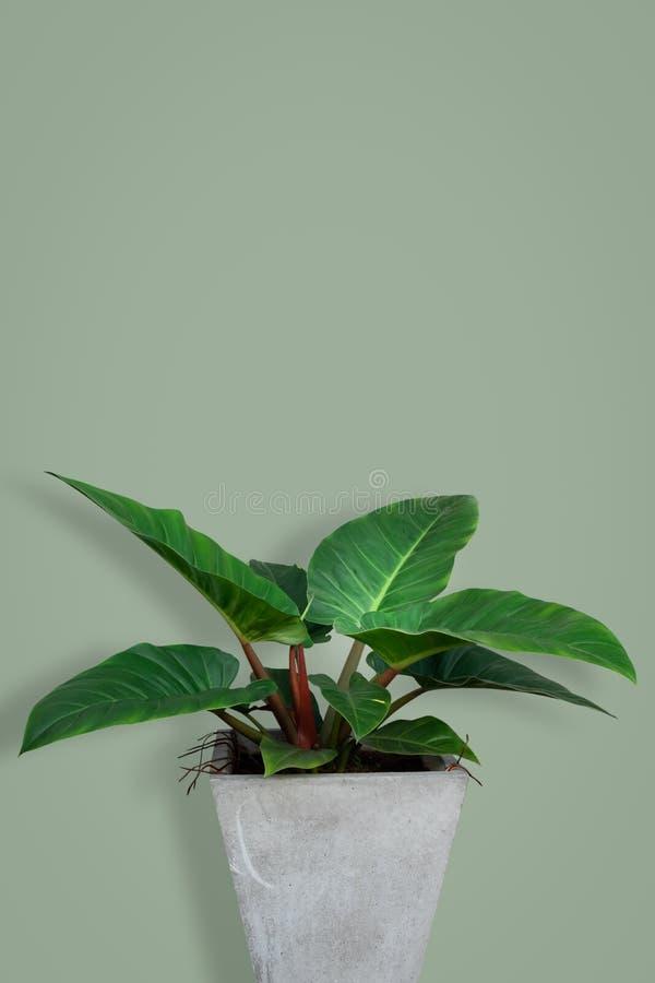 Rubescens tropicaux Kunth de Homalomena de feuilles sur le fond vert photographie stock