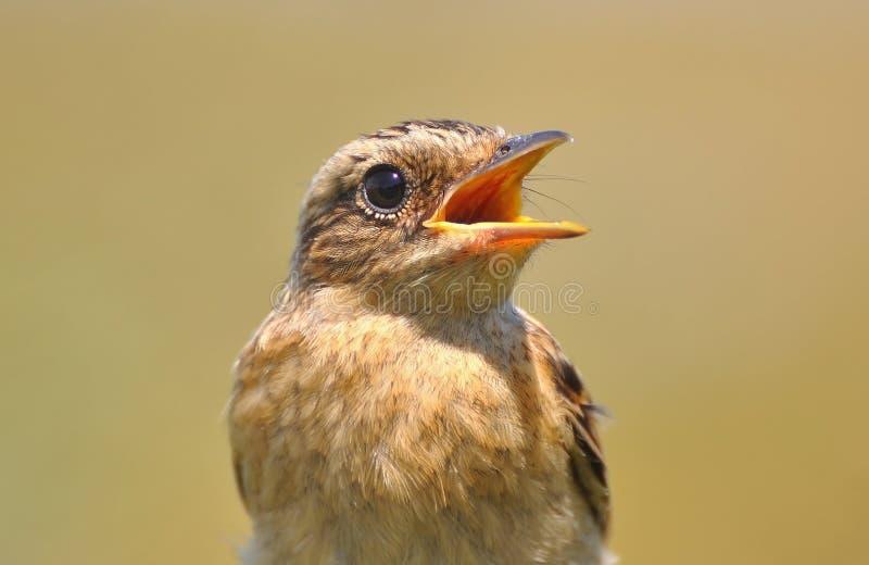 Rubetra do Saxicola. Close-up do pássaro foto de stock royalty free