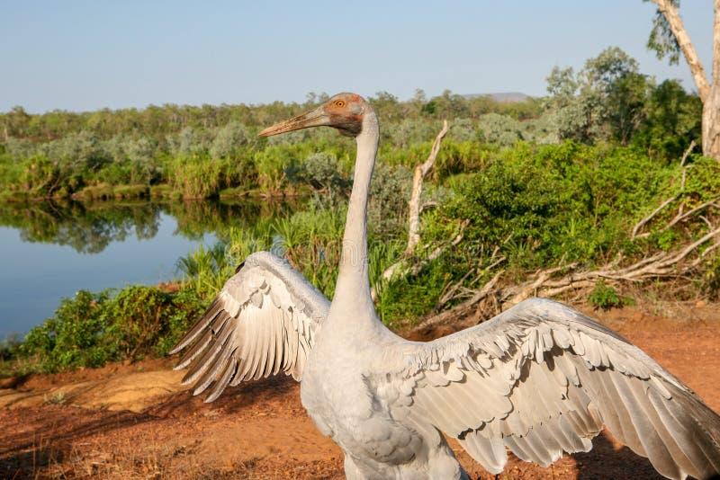 Rubicunda d'Antigone de Brolga, un oiseau dans les danses de famille de grue pour la caméra dans l'extrémité supérieure de l'Aust photographie stock