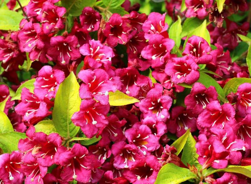 Rubidor del Weigela en flor llena Cierre para arriba fotografía de archivo libre de regalías