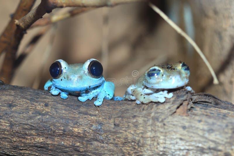 Rubin-synad treefrog royaltyfri foto