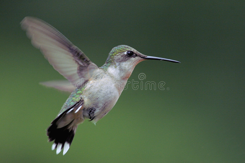 Rubin-throated Kolibri stockbilder