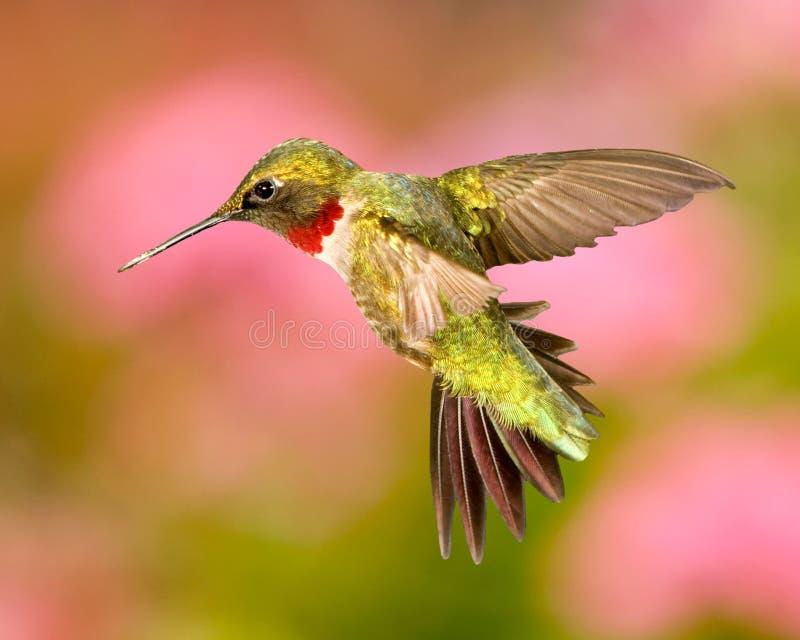Rubin-Throated kolibri royaltyfria bilder