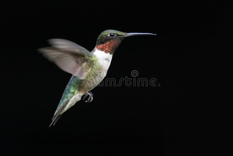 Rubin-throated Kolibri stockfoto