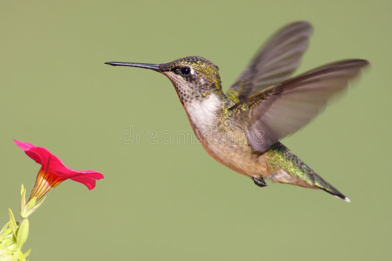 Rubin-throated Kolibri stockbild