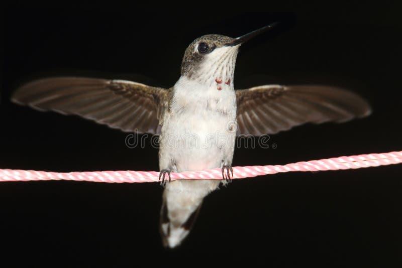 Rubin-throated Kolibri (Archilochus colubris) stockbilder