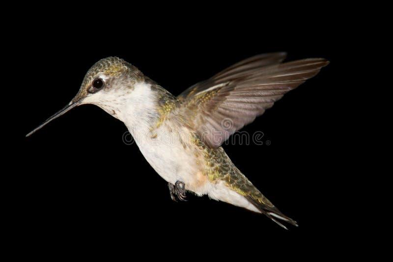 Rubin-throated Kolibri Archilochus Colubris stockfoto