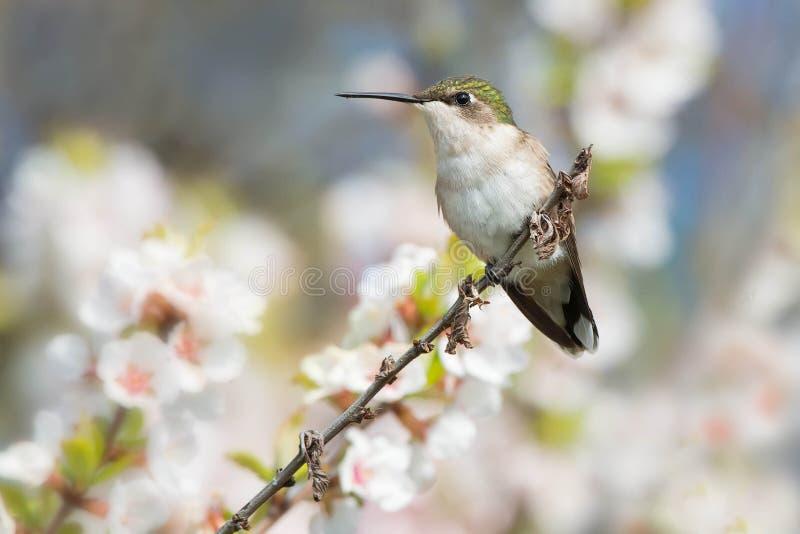 Rubin-throated kolibri - Archilochuscolubris fotografering för bildbyråer