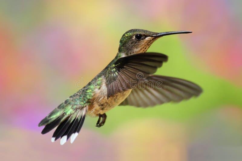 Rubin-throated Kolibri im Flug lizenzfreie stockbilder