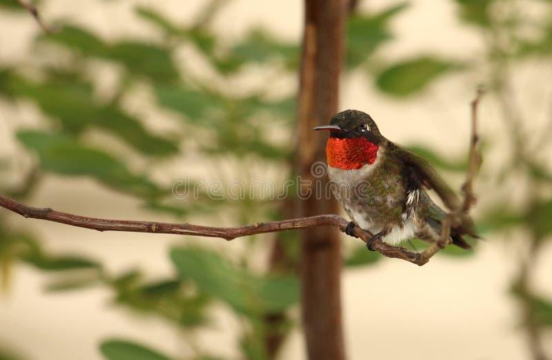 Rubin-throated kolibri - man arkivfoto