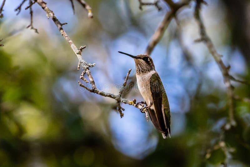 Rubin-throated kolibri som vilar i eken arkivfoto