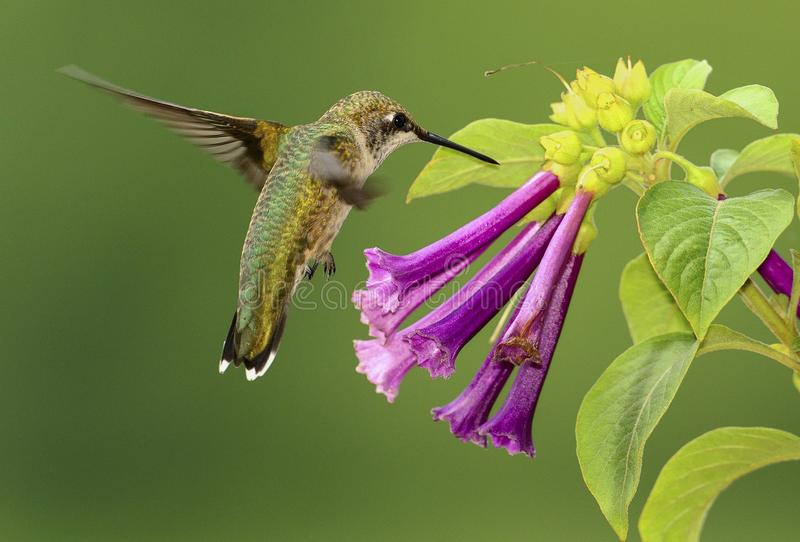 Rubin-throated Kolibri und Violet Flowers