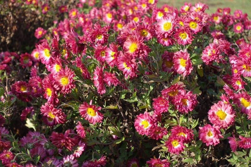 Rubin und weiße Gänseblümchen ähnliche Blumen der Chrysantheme stockbilder
