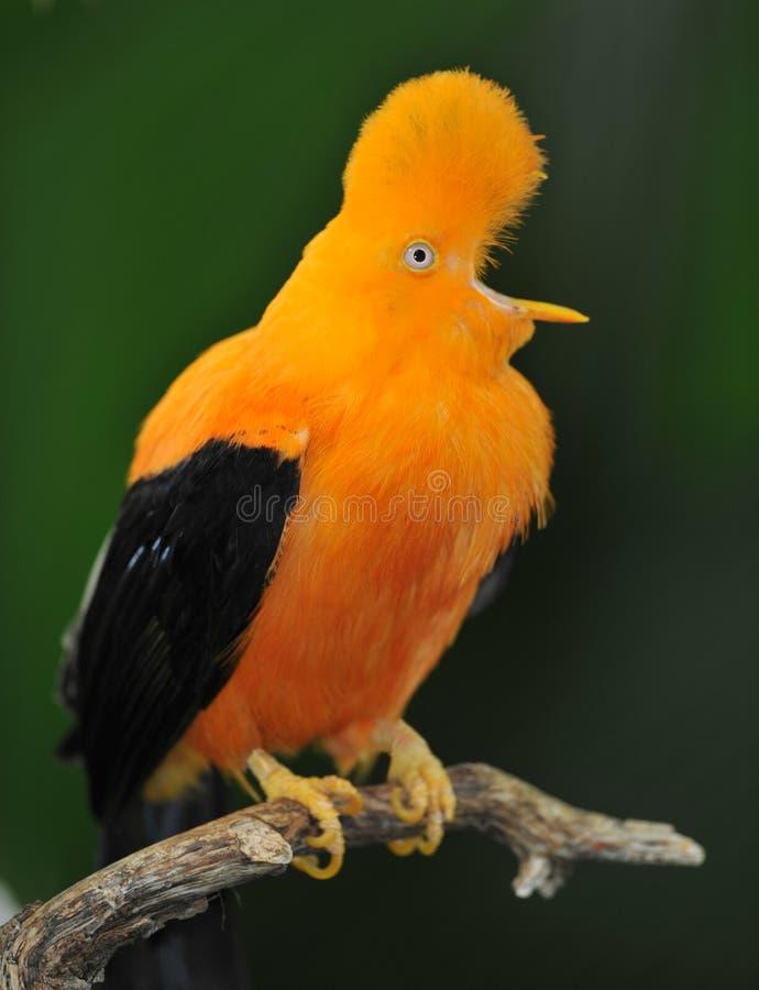 Rubinetto andino insolito dell'uccello della roccia fotografia stock libera da diritti