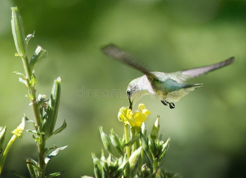 Rubinowy Throated Hummingbird i wieczór pierwiosnek obrazy royalty free