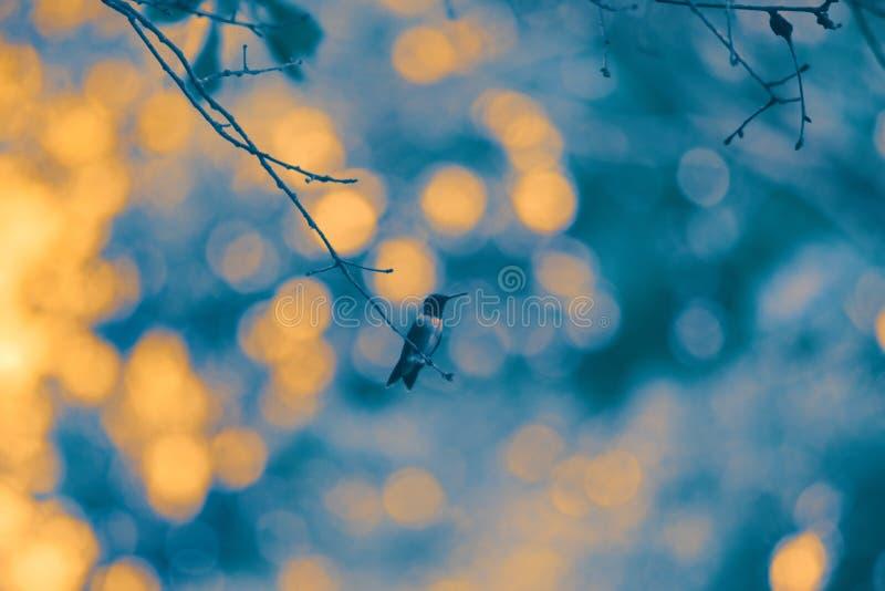 Rubinowy Throated Nucić ptak Przeciw Ciemnemu tłu fotografia royalty free