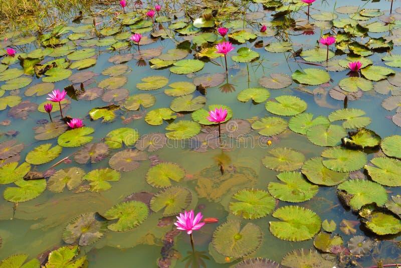 Rubra Nymphaea лилий розовой или красной воды на естественном сельском озере стоковое изображение