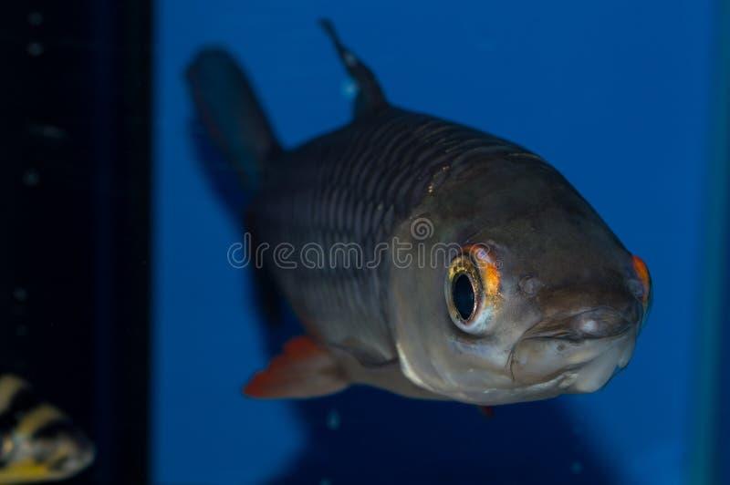 Rubripinna de Leptobarbus del tiburón del cigarro imagen de archivo