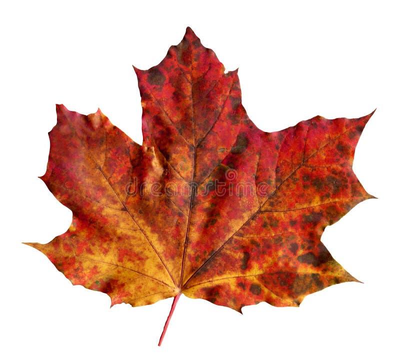 Rubrum Acer σφένδαμνος Πολύχρωμο φύλλο σφενδάμου φθινοπώρου που απομονώνεται στοκ εικόνες με δικαίωμα ελεύθερης χρήσης