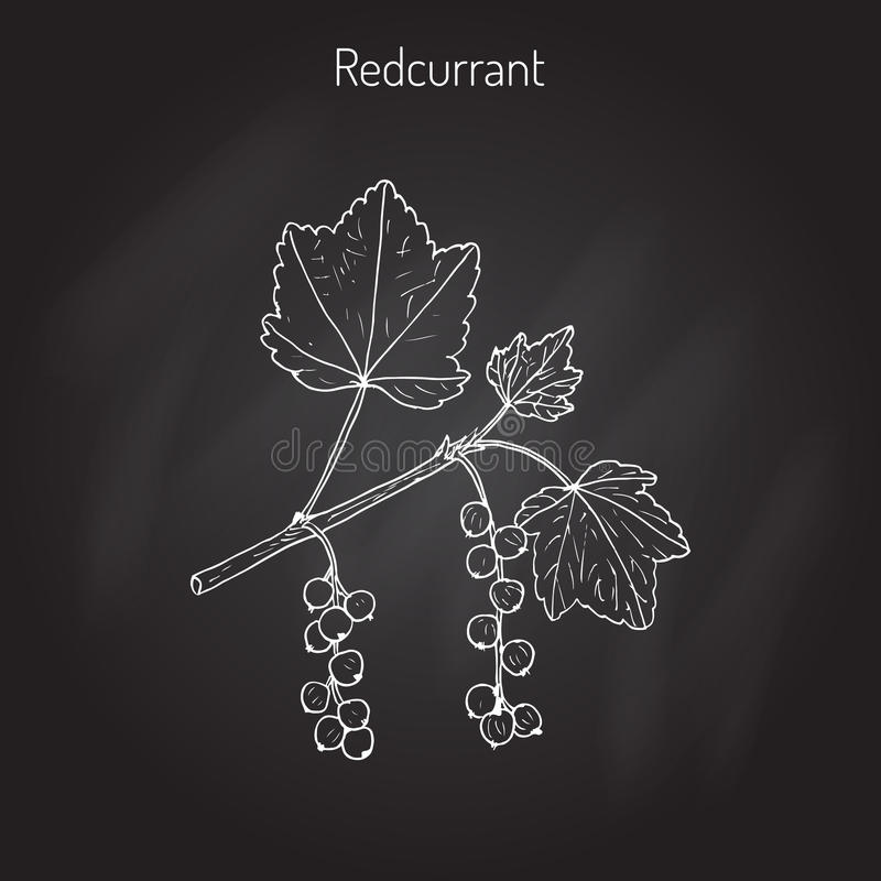 Rubrum van rode aalbesribes stock illustratie