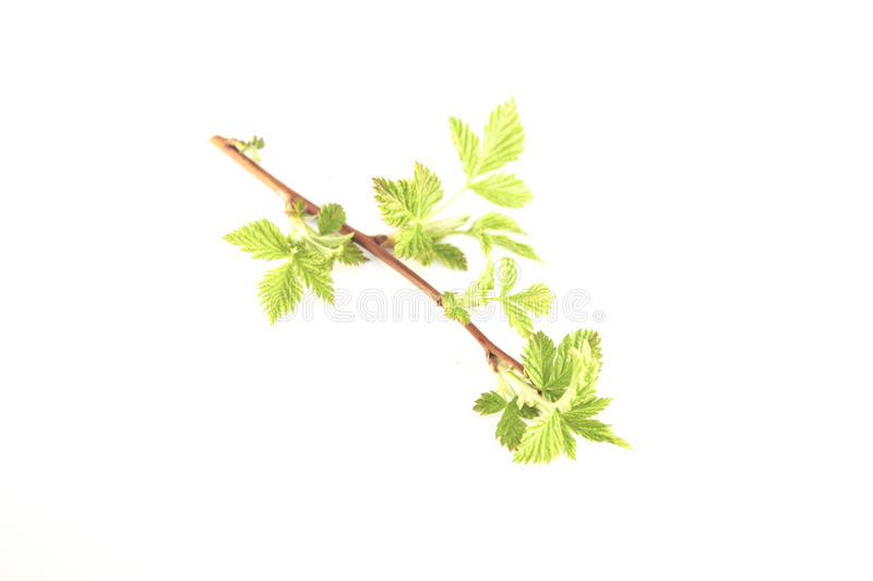 Rubus blackberry leaves royalty free stock photography