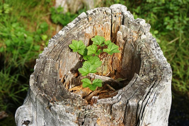 Rubus chamaemorus. (derived from Greek chamai on the ground, moros mulberry), though not the same as the berry now called 'mulberry,' is a rhizomatous herb royalty free stock photo