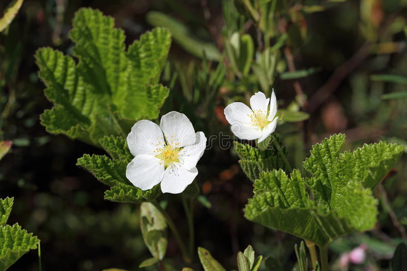Rubus chamaemorus. Flowering cloudberries in the summer on the Y. Rubus chamaemorus. The white flowers of the cloudberry swamp in Siberia stock photography