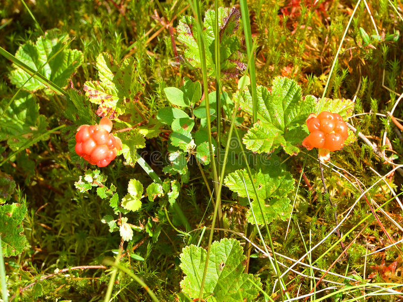 Rubus chamaemorus. Is a rhizomatous herb native to cool temperate, alpine, arctic tundra and boreal forest, producing amber-colored edible fruit similar to the stock image