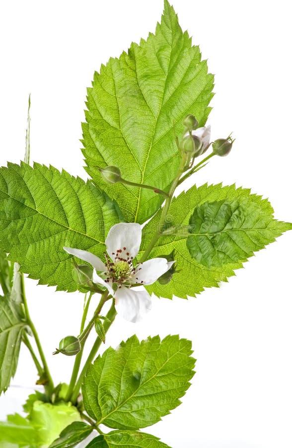 Free Rubus Fruticosus Royalty Free Stock Photography - 14688087