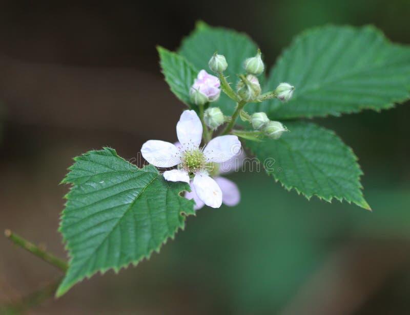 Rubus fruticosus, jeżynowy kwiat zdjęcie royalty free