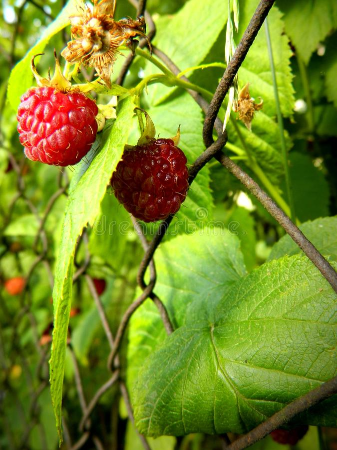 Rubus idaeus, red-fruited raspberries with leaves royalty free stock photography