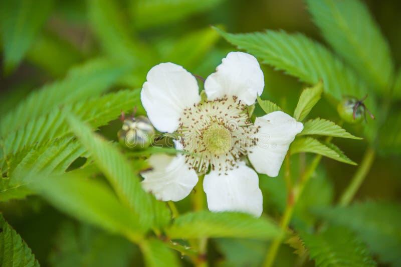 Rubus illecebrosus blooming. In garden royalty free stock images