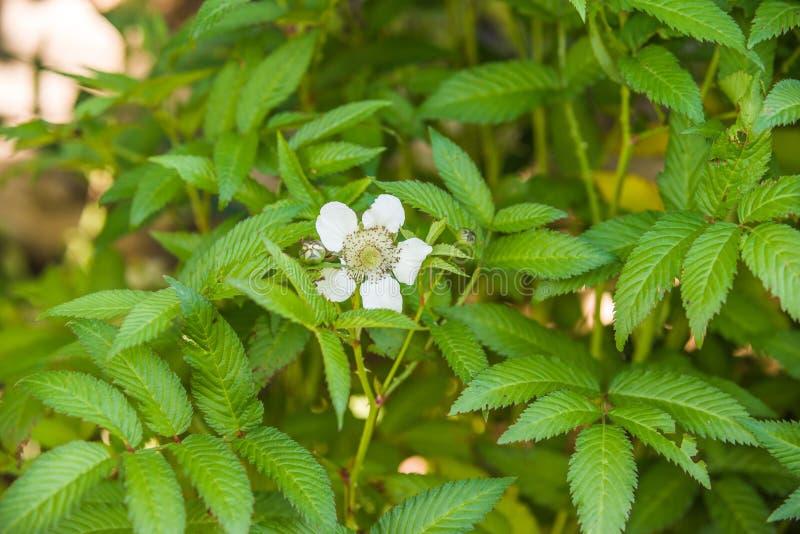 Rubus illecebrosus blooming. In garden royalty free stock photos