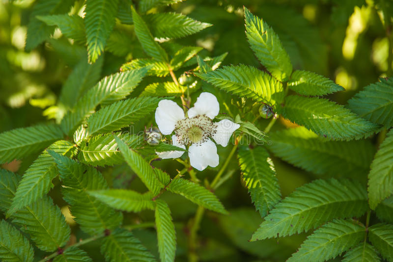 Rubus illecebrosus blooming. In garden stock photography