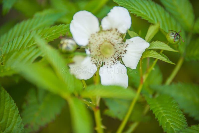 Rubus illecebrosus blooming. In garden royalty free stock photo