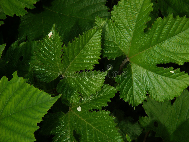 Download Rubus Leaves Stock Images - Image: 150334