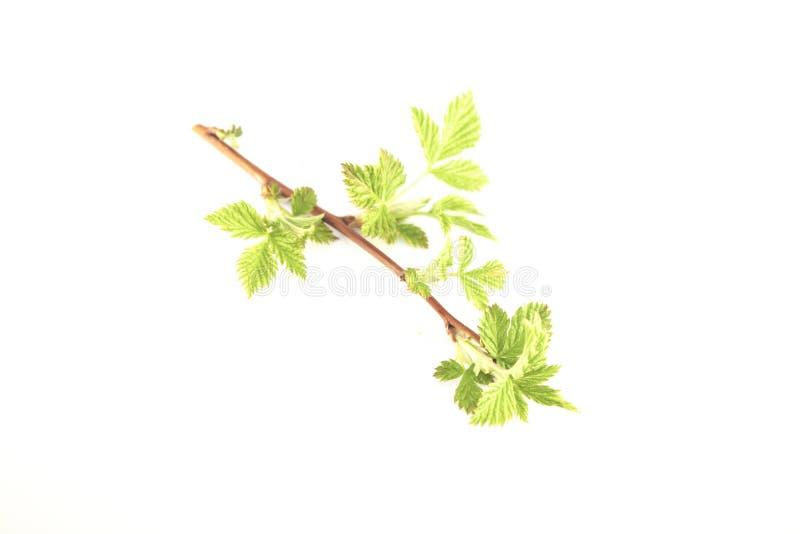 Rubusbjörnbärsidor royaltyfri fotografi