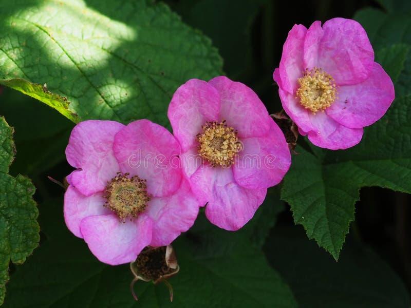 Rubusodoratus, lila-blommat hallon royaltyfri bild
